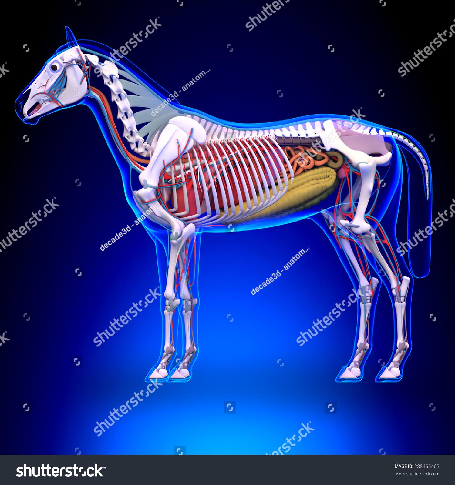 Horse Internal Organs Anatomy Stock Illustration 288455465 ...
