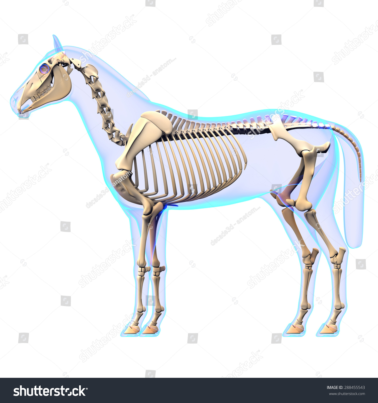 Horse Skeleton Side View Anatomy - isolated on white | EZ Canvas