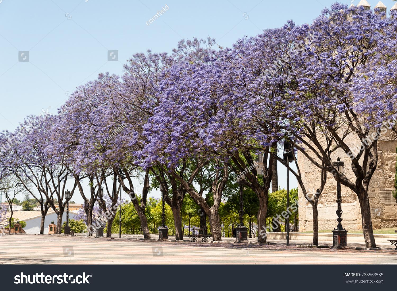 Jacaranda Trees Blooming Purple Flowers Jerez Stock Photo Edit Now