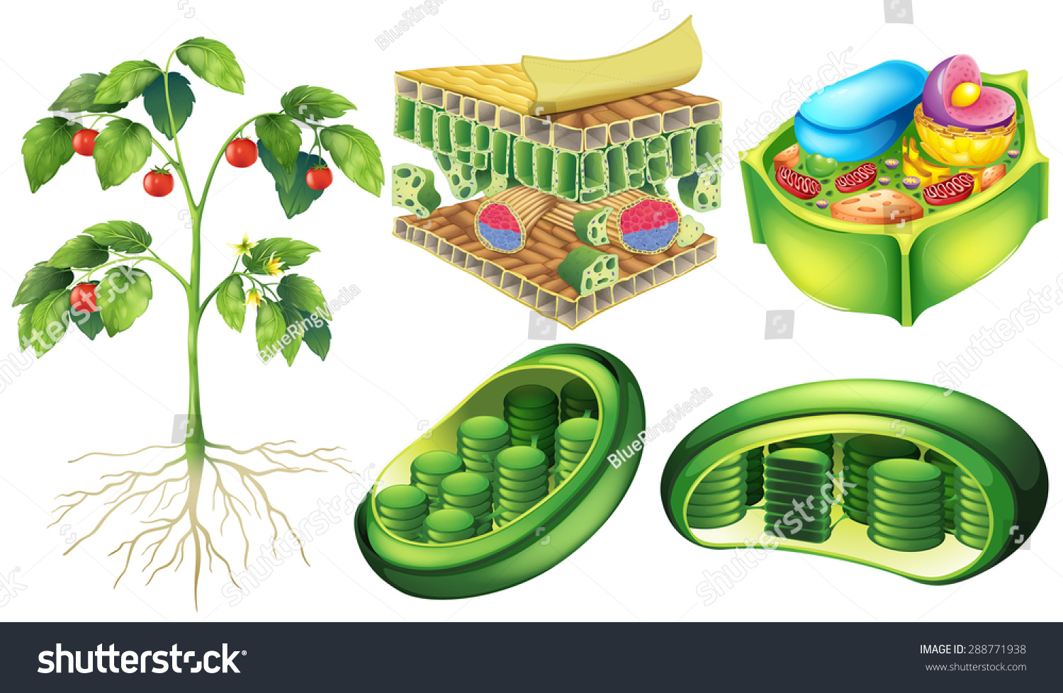 Poster Illustrating Plant Cell Anatomy Stock Vector 288771938 ...