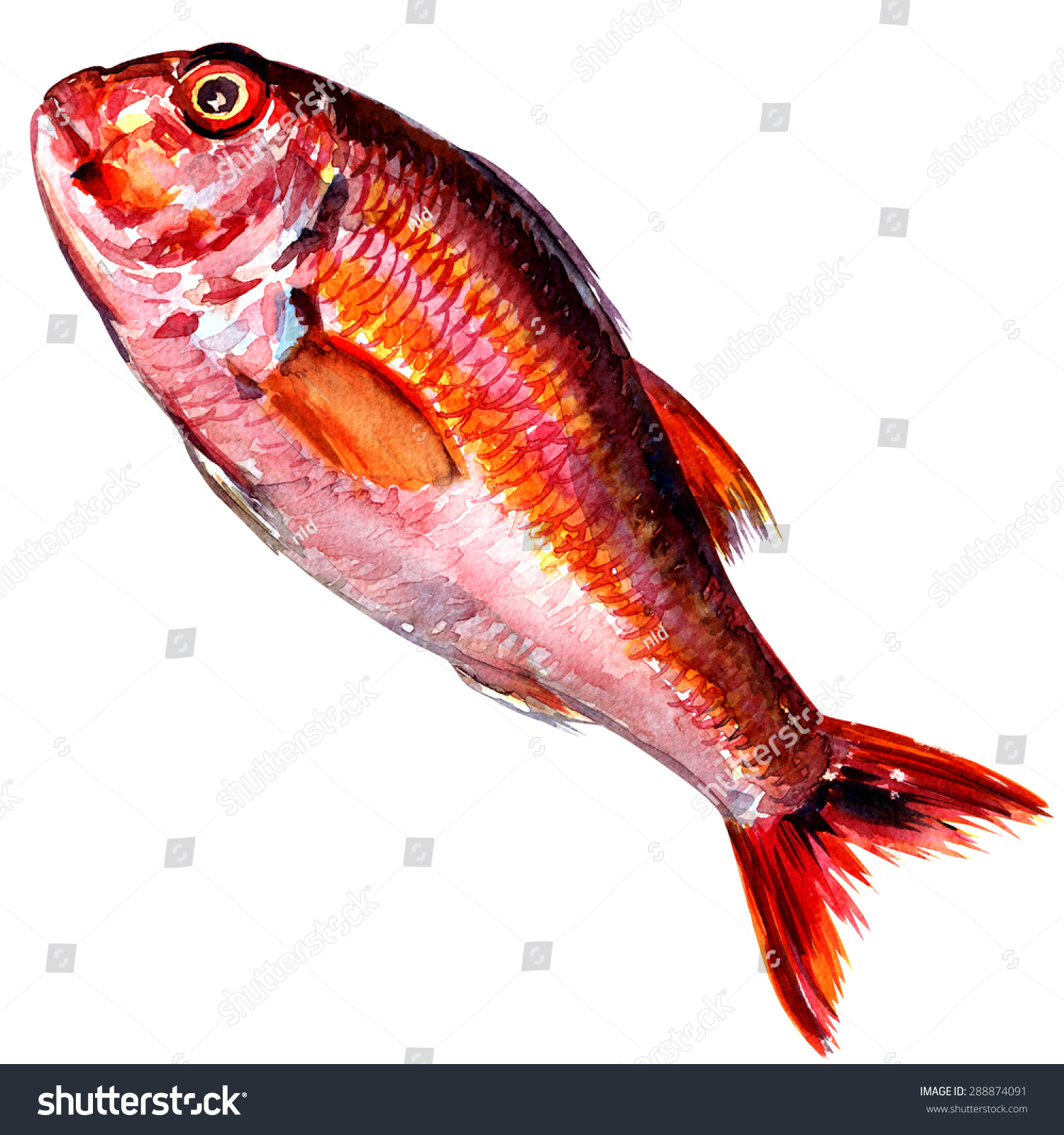 Red mullet fish isolated watercolor painting on white for Red mullet fish