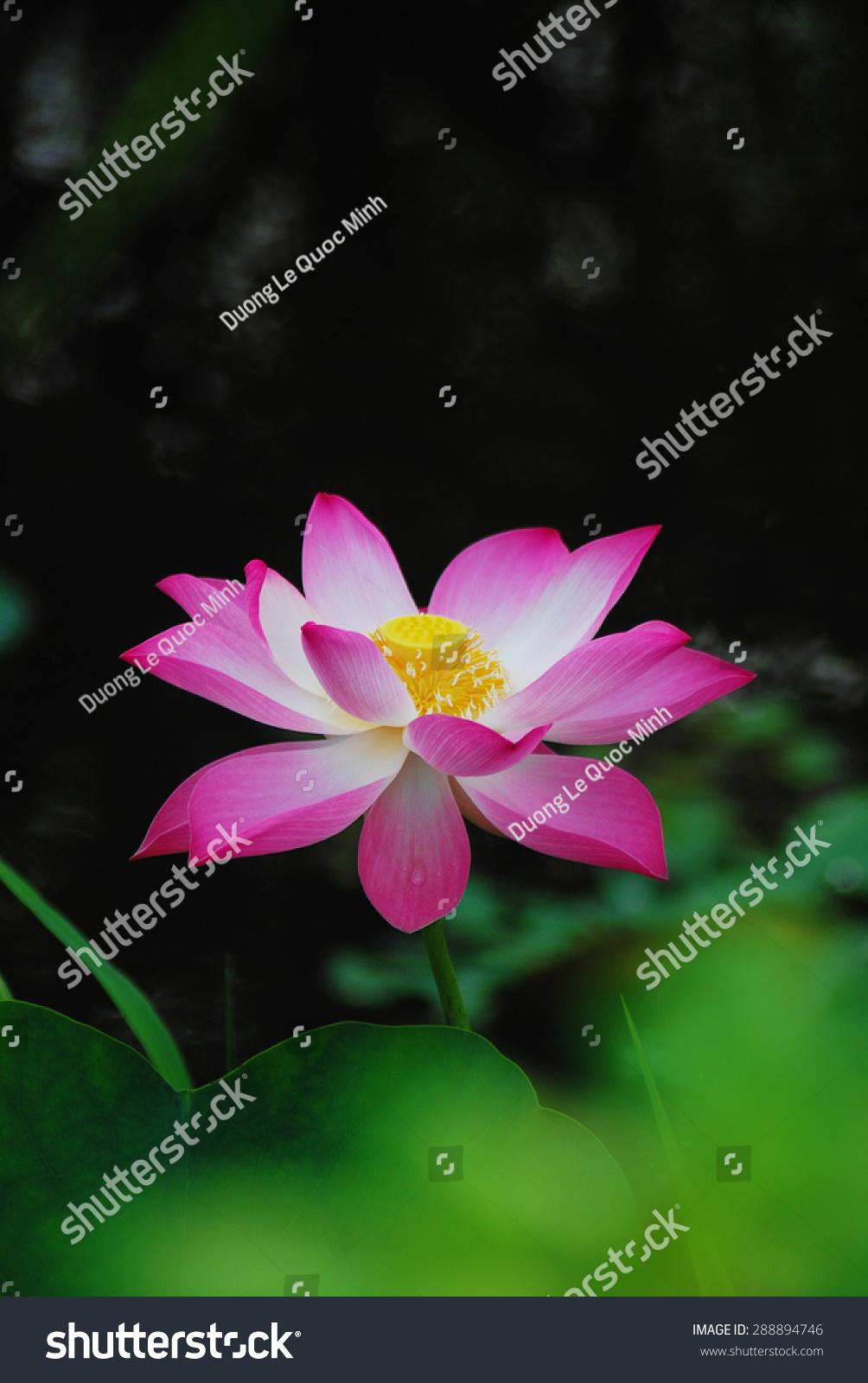 Lotus Flower Vietnamese Sen Stock Photo Edit Now 288894746
