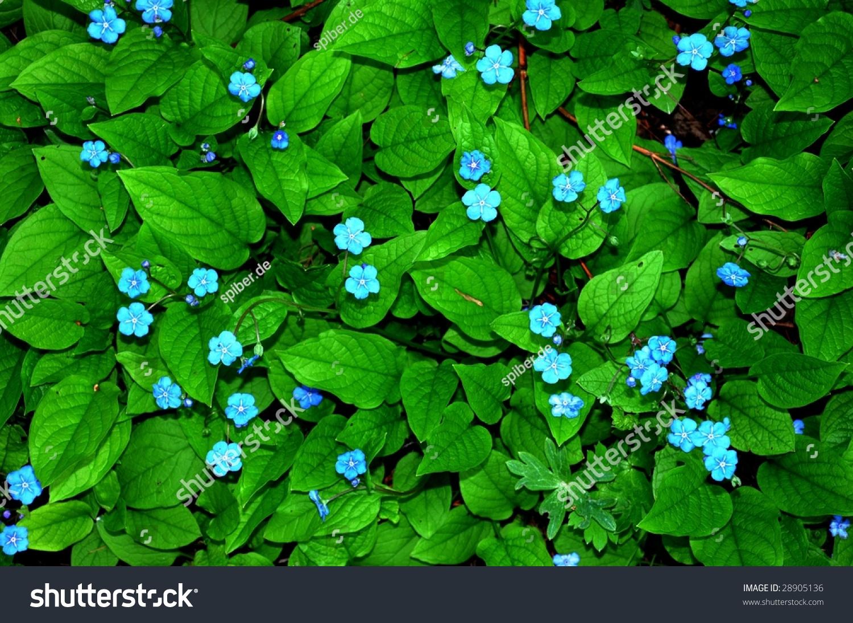 Light blue groundcover flowers stock photo edit now 28905136 light blue ground cover flowers izmirmasajfo