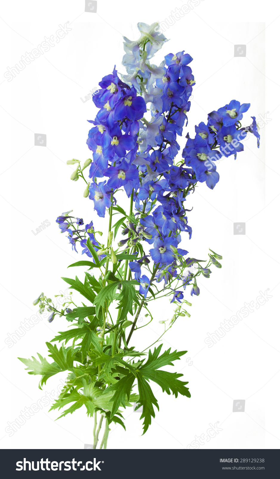 Bluebells Bunch Isolated On White Background Ez Canvas
