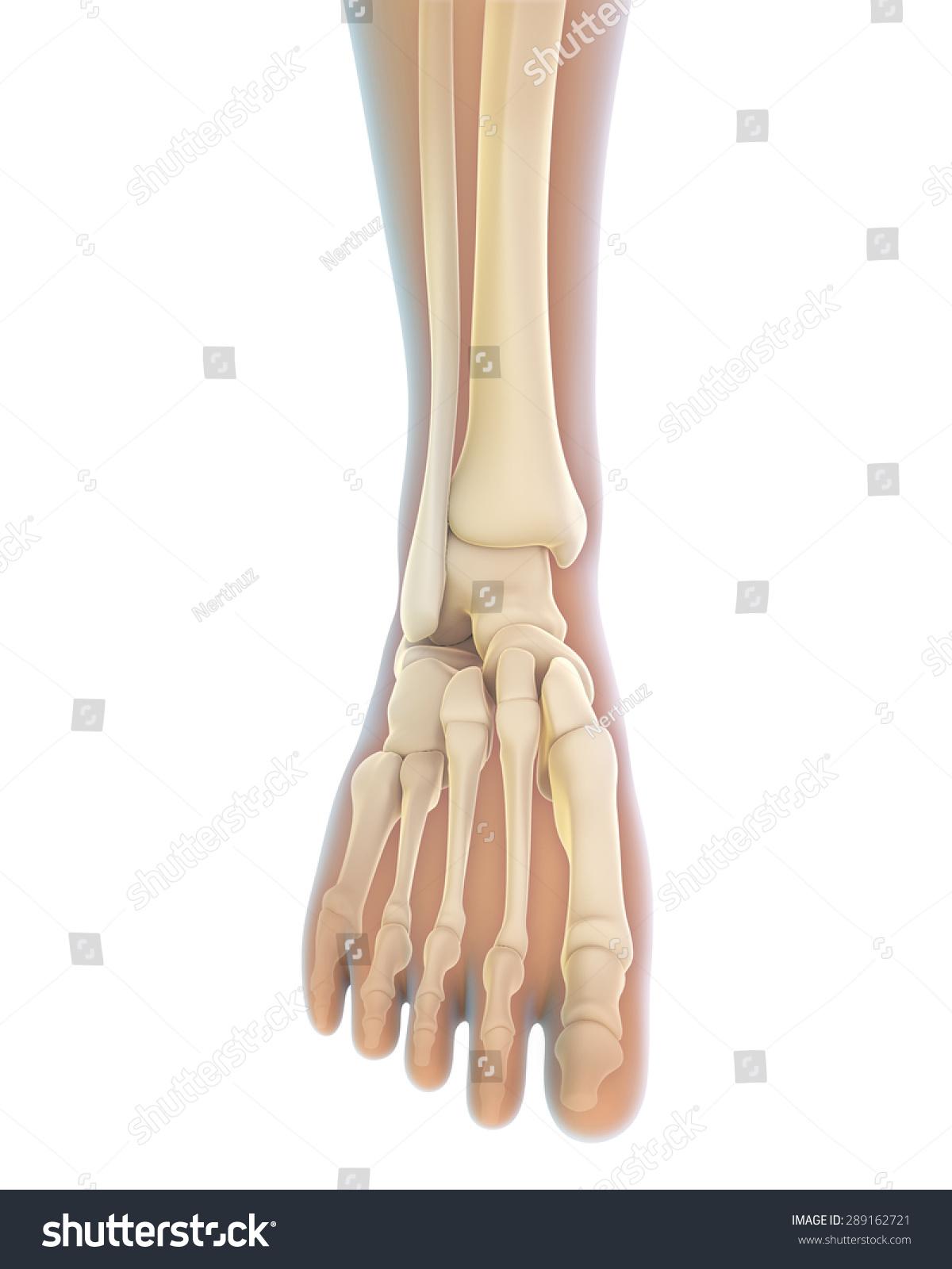 Foot Bone Anatomy Vector Illustration Medical art | EZ Canvas