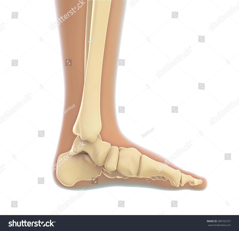 Human Foot Anatomy Stock Illustration 289162727 - Shutterstock