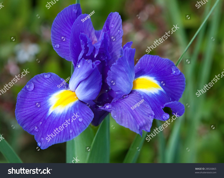 Pretty violet iris flower garden stock photo royalty free 28926865 pretty violet iris flower in the garden izmirmasajfo