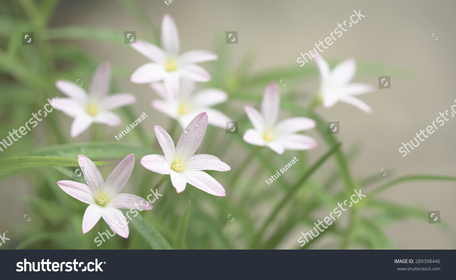 Beautiful Laver Flower Rain Lilies On Stock Photo Edit Now