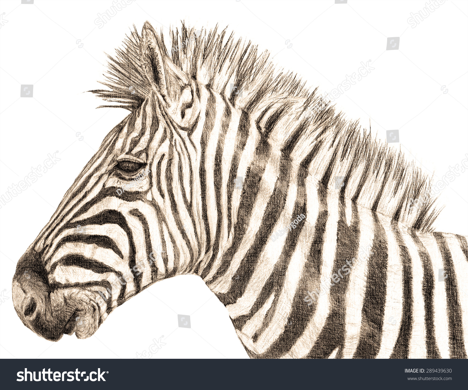 Hand drawn zebra side profile close up isolated on white realistic pencil drawing