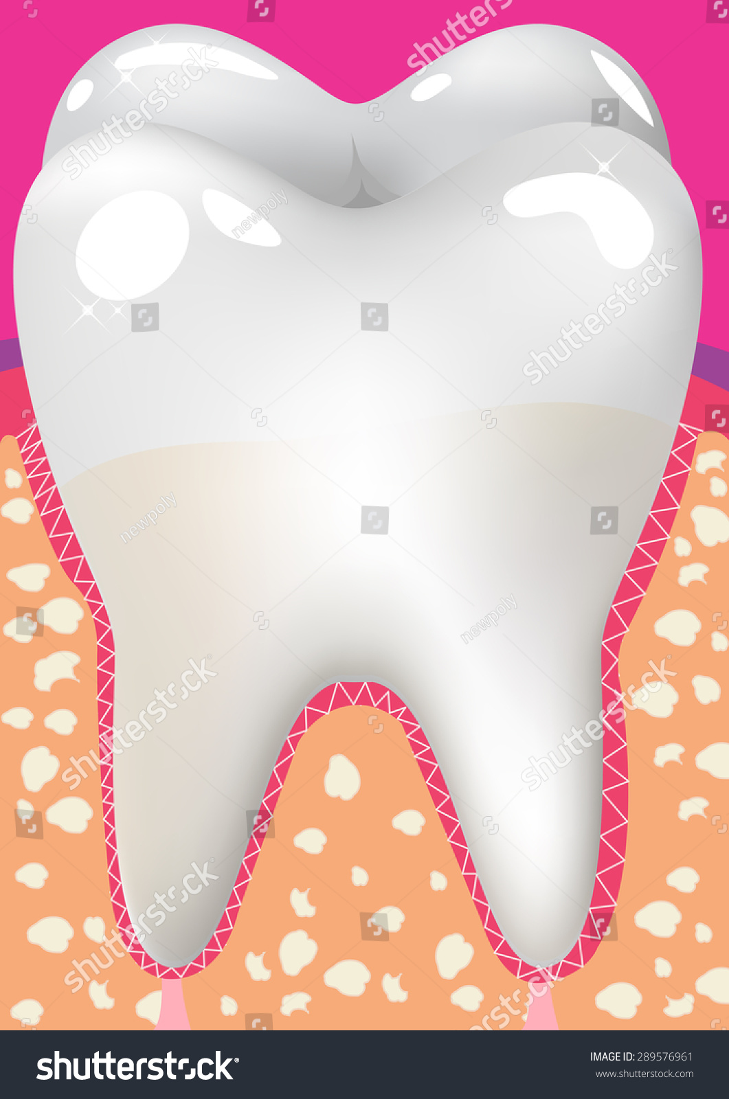 Healthy White Tooth Gums Bone Illustration Stock Photo (Photo ...