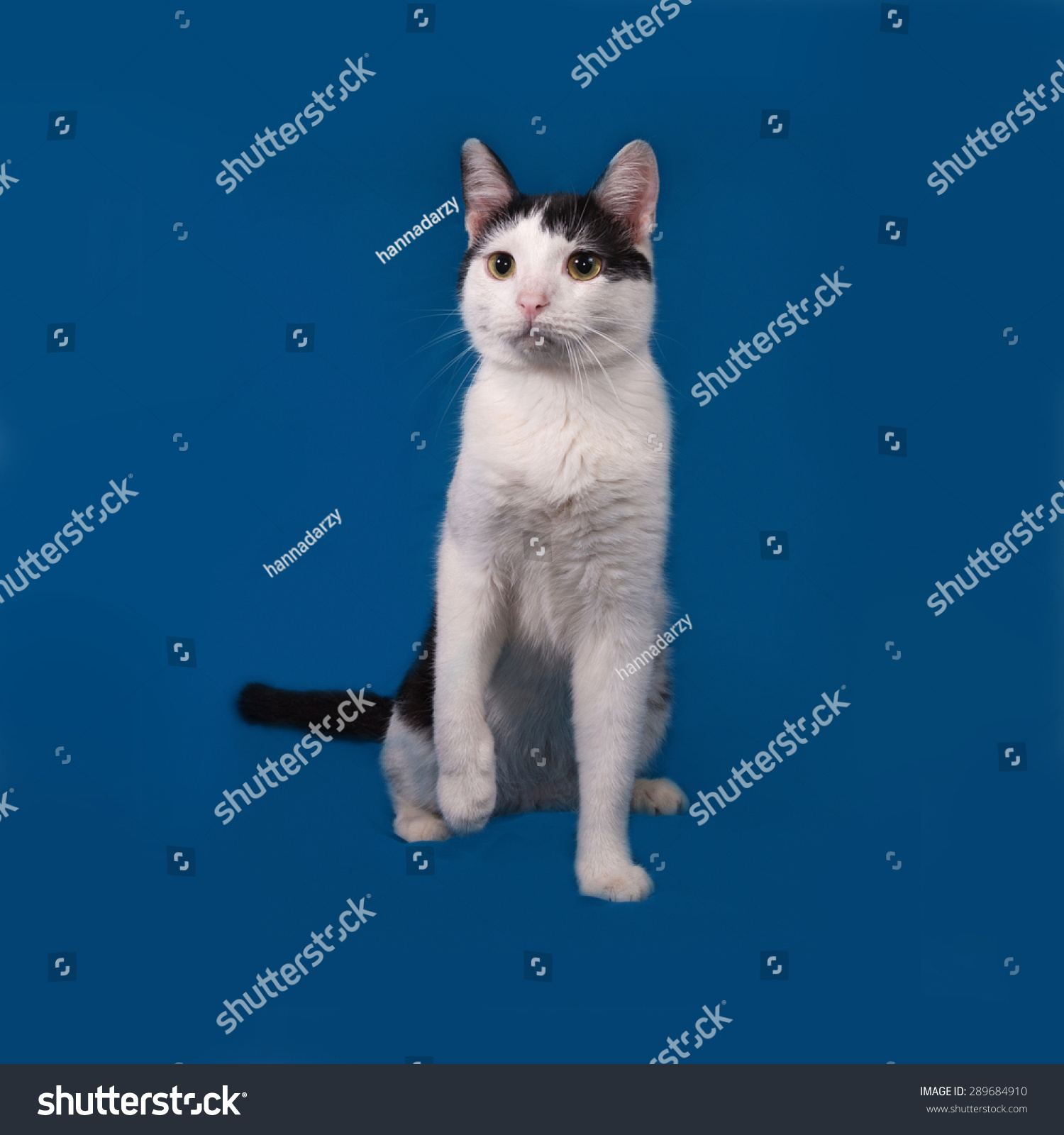 White Black Cat Sitting On Blue Stock Photo 289684910 - Shutterstock