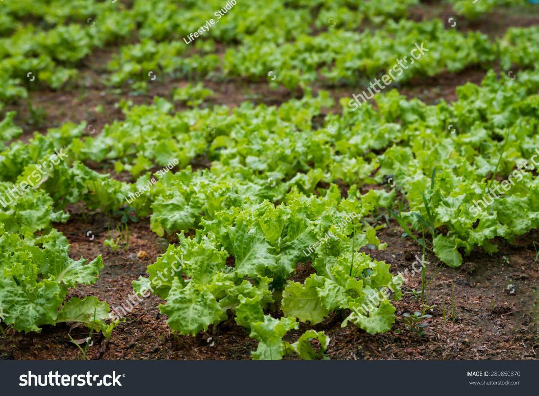 Picking fresh salad vegetable garden select stock photo 289850870 shutterstock for How to pick lettuce from garden