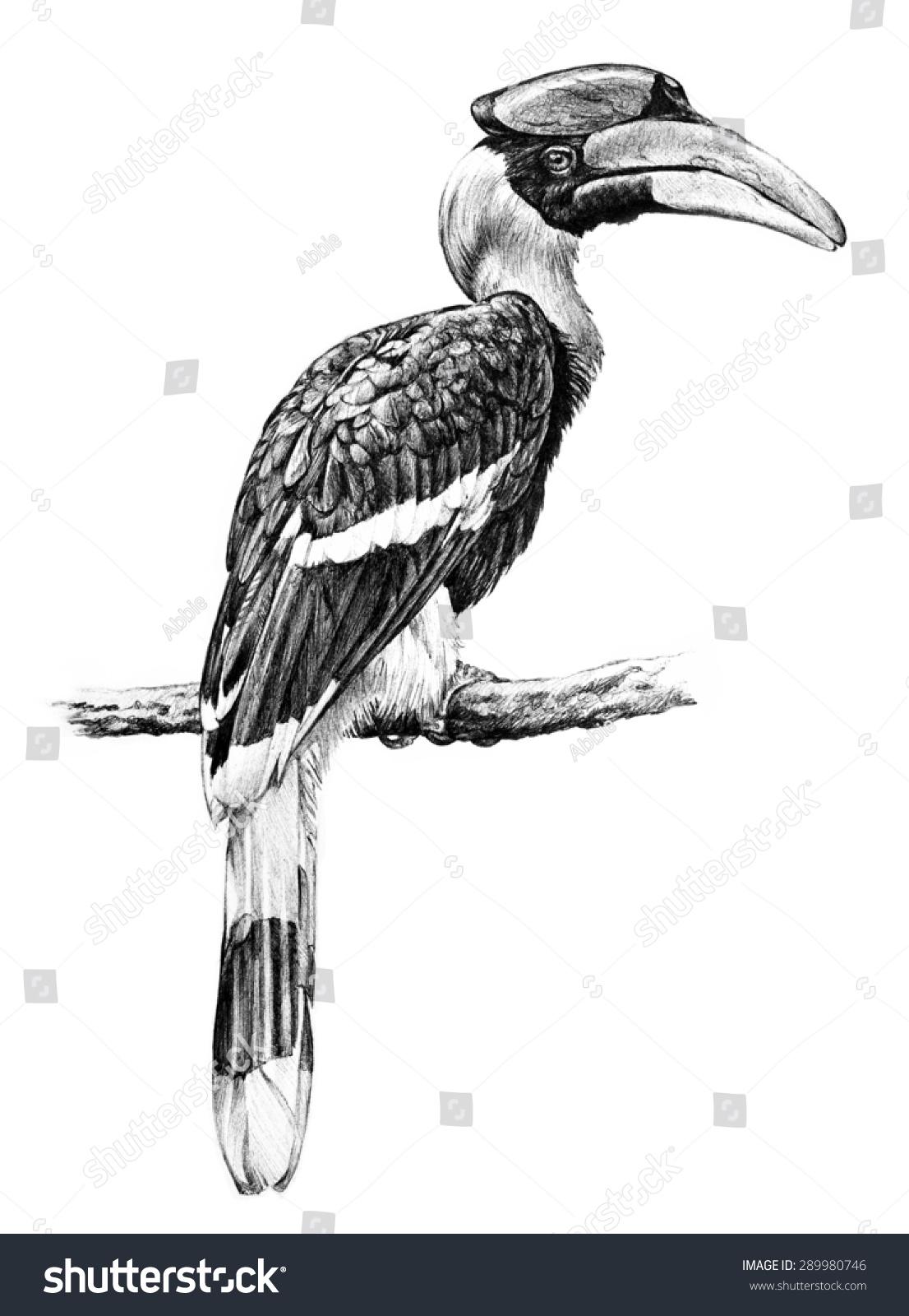 Great Hornbill Bird Illustration Hand Drawn Stock Illustration 289980746 - Shutterstock