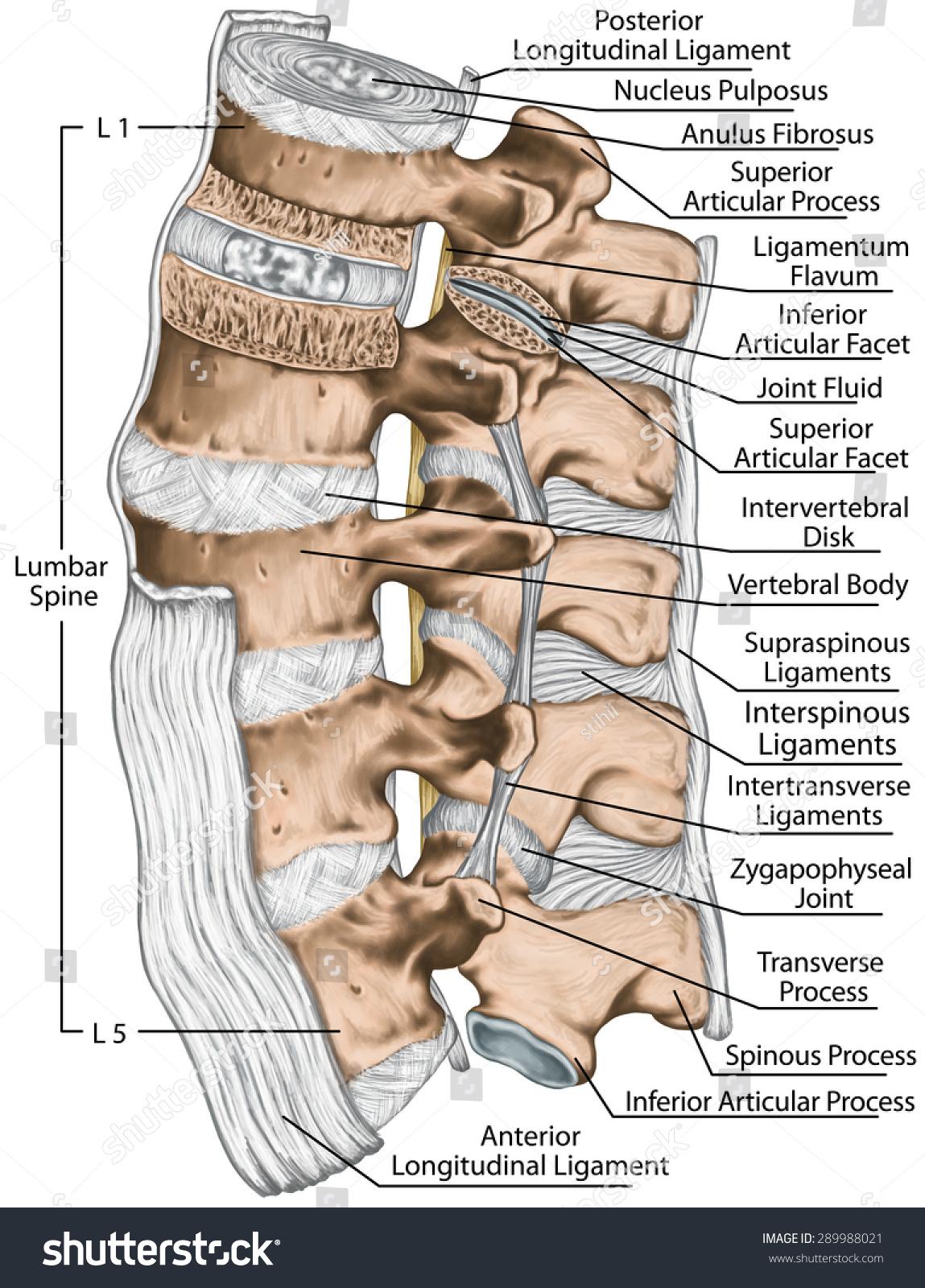 Ligaments Lumbar Spine Structure Anterior Longitudinal Stock ...