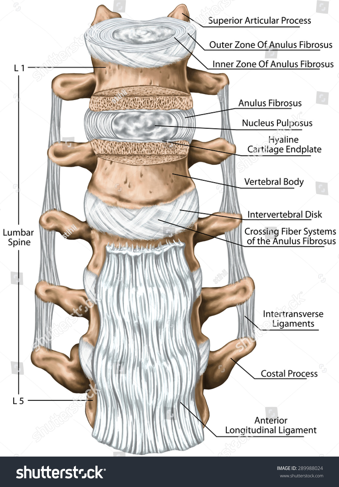 Lumbar Ligaments Lumbar Spine Structure Anterior Stock Illustration ...