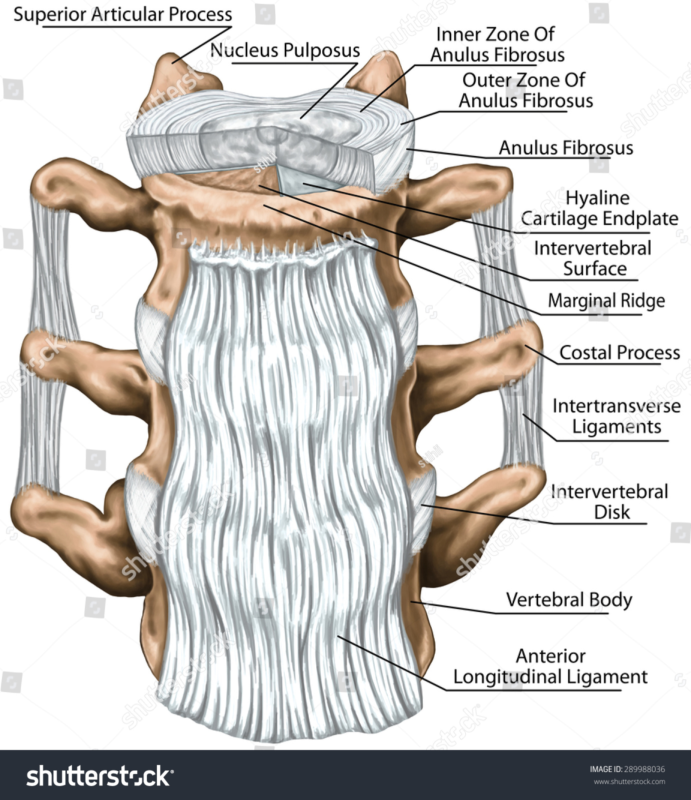 Ligaments Structure Intervertebral Disc Outer Inner Stock ...