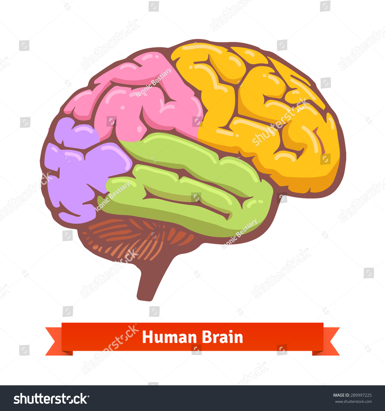 Coloured Human Brain Diagram Flat Vector Stock Vector (Royalty Free ...