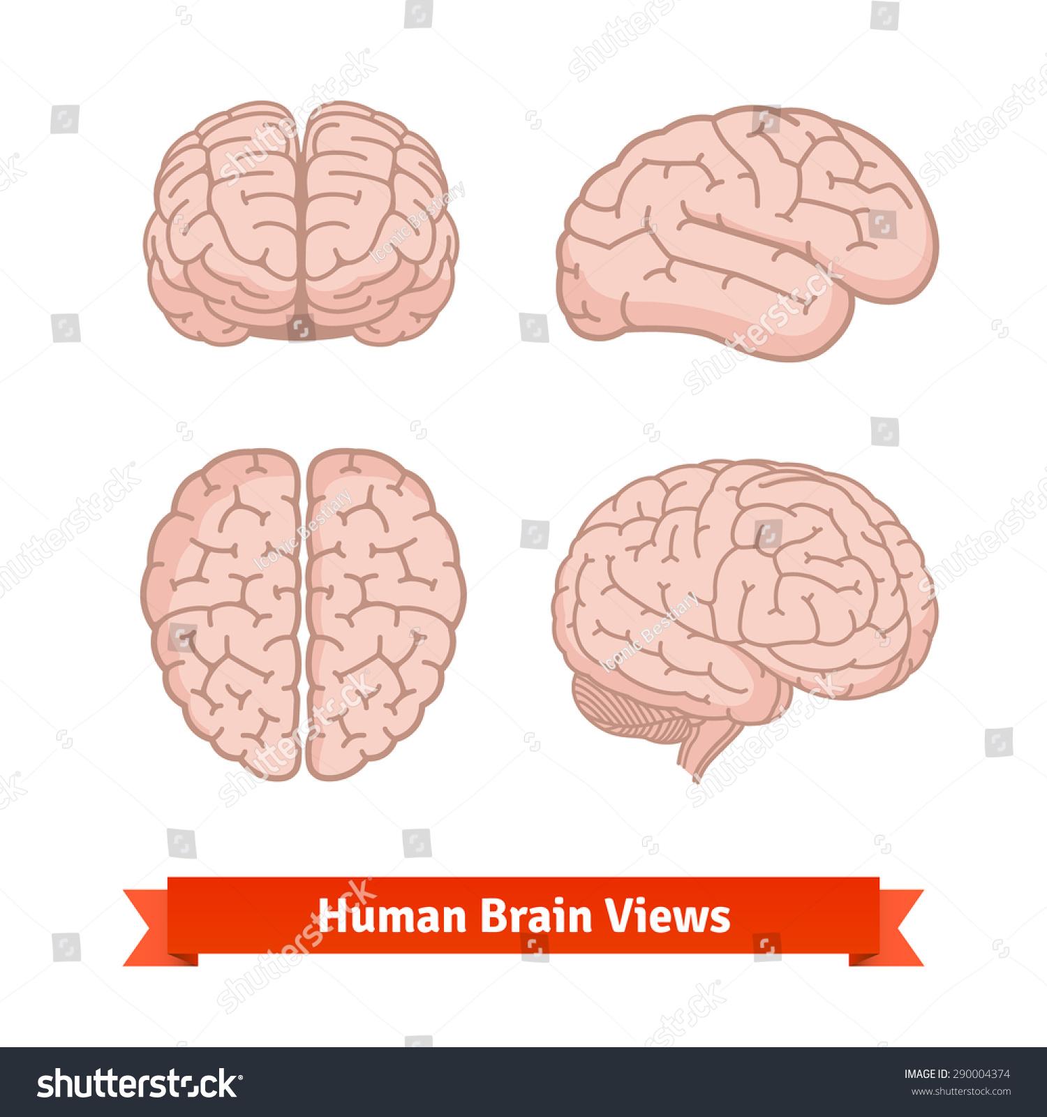 brain top view vector - photo #21