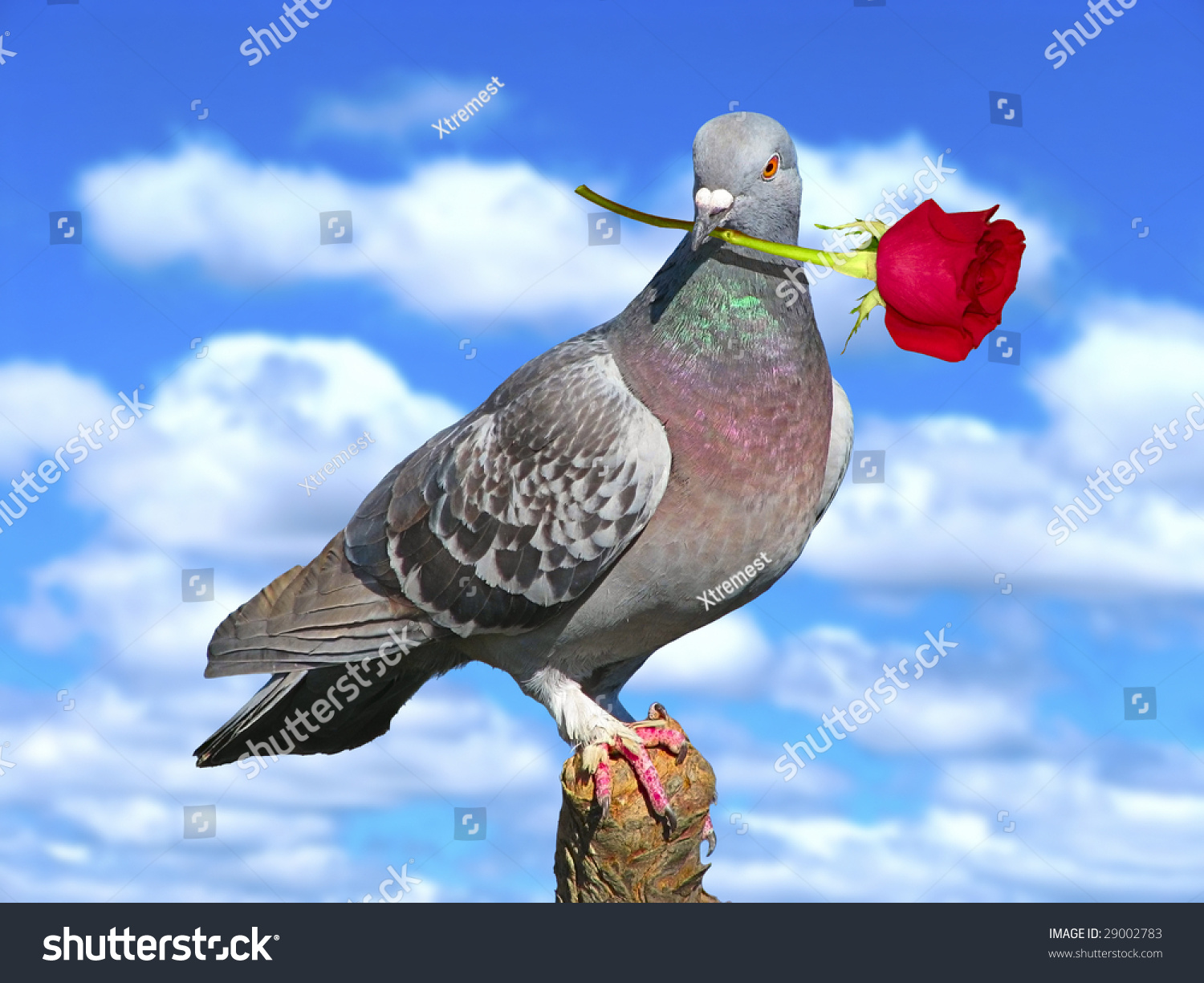 Love symbol pigeon holding red rose stock photo 29002783 love symbol with pigeon holding a red rose over the blue sky biocorpaavc
