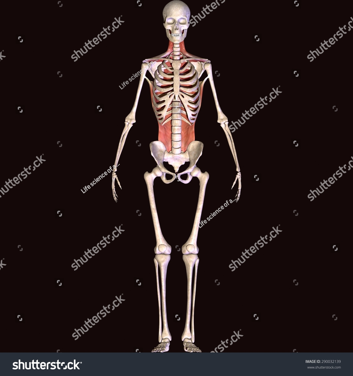Human Backbone Muscle Stock Illustration 290032139 Shutterstock