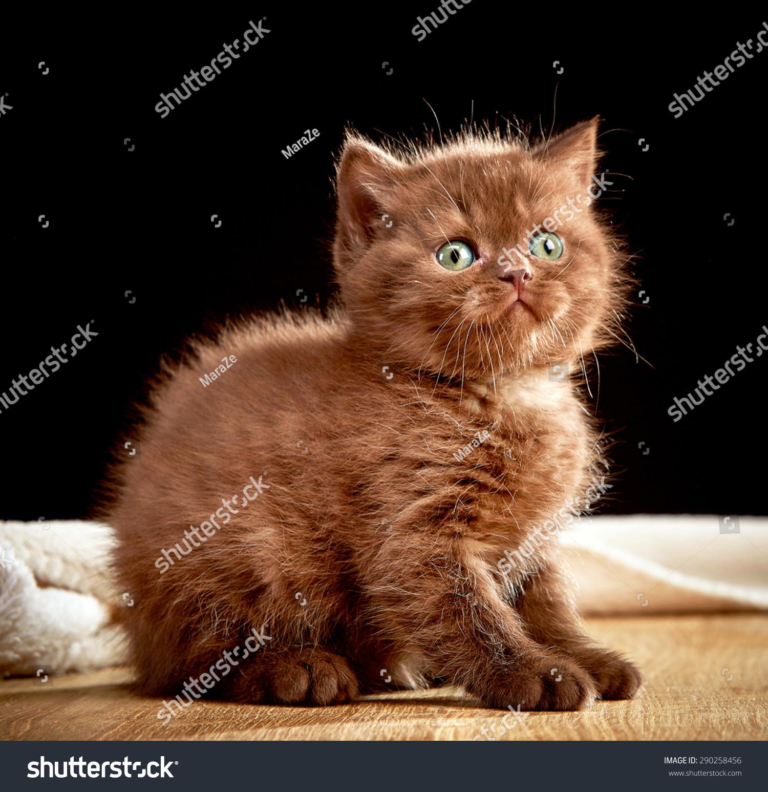 Portrait British Chocolate Kitten Stock Photo 290258456 - Shutterstock