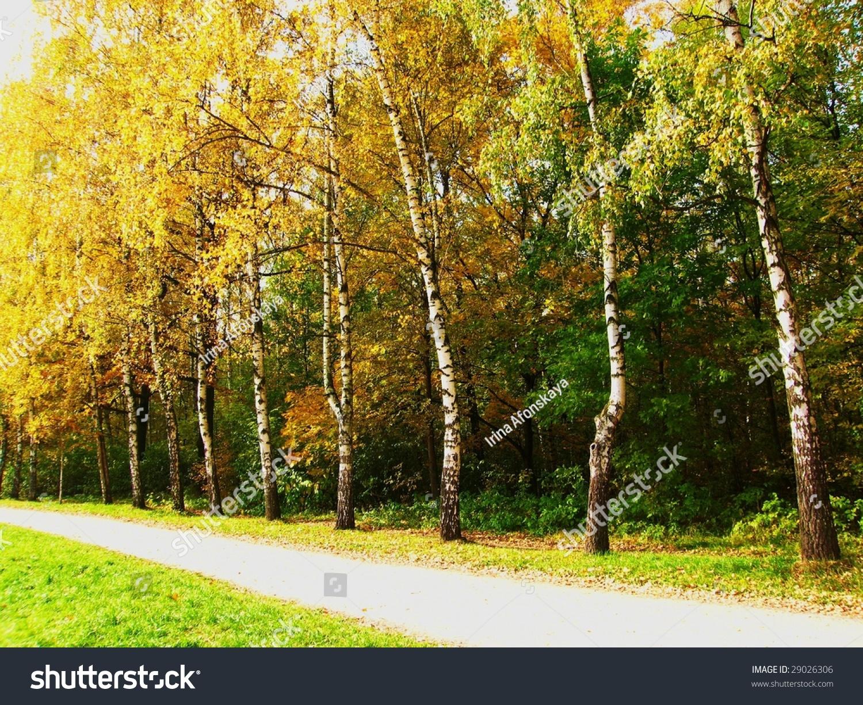 Avenue in yellow birch wood autumn stock photo