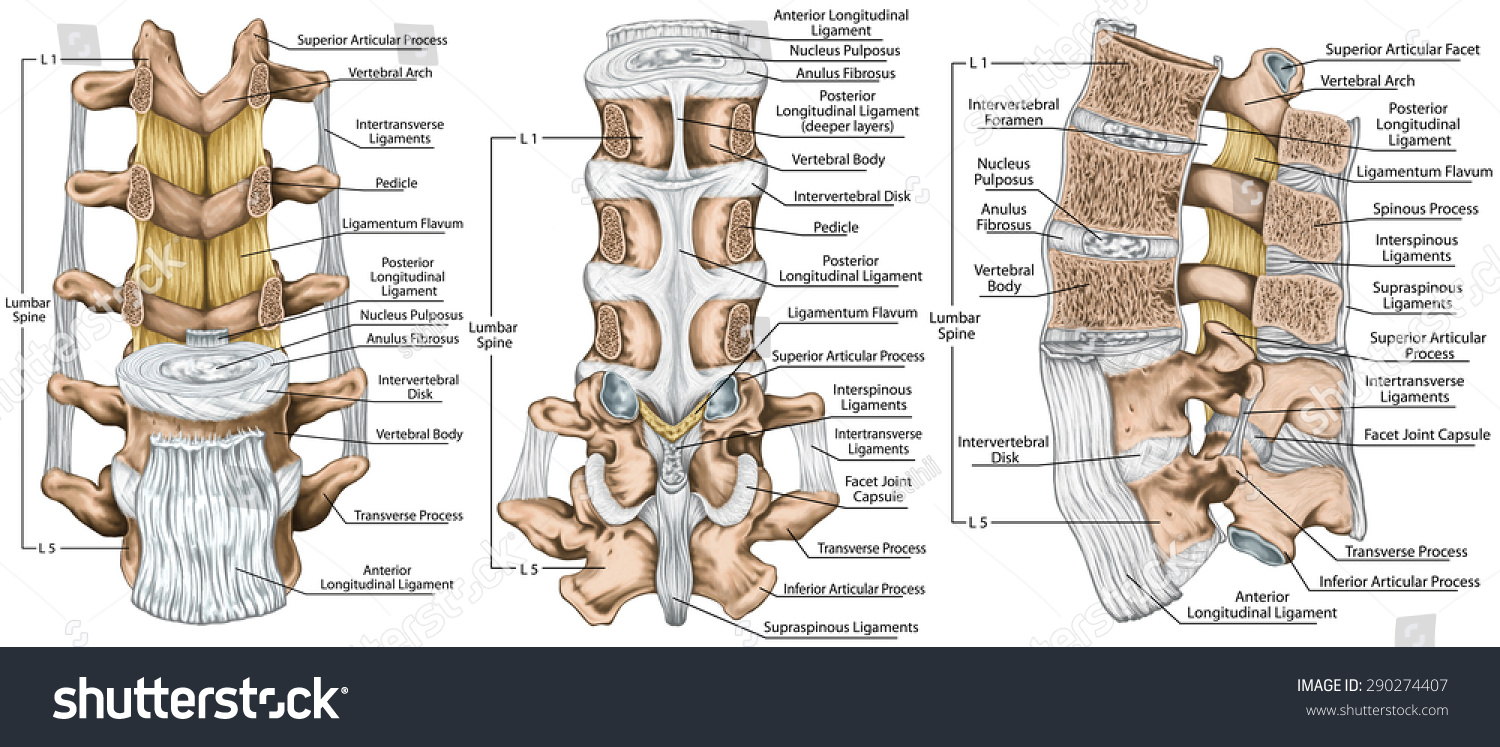 Spinal ligaments anatomy