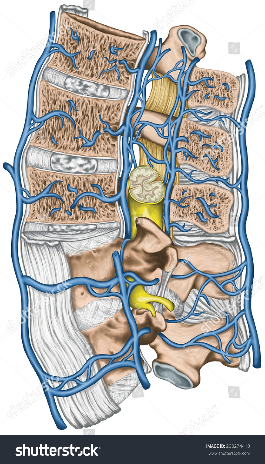 Royalty Free Stock Illustration Of Internal External Vertebral