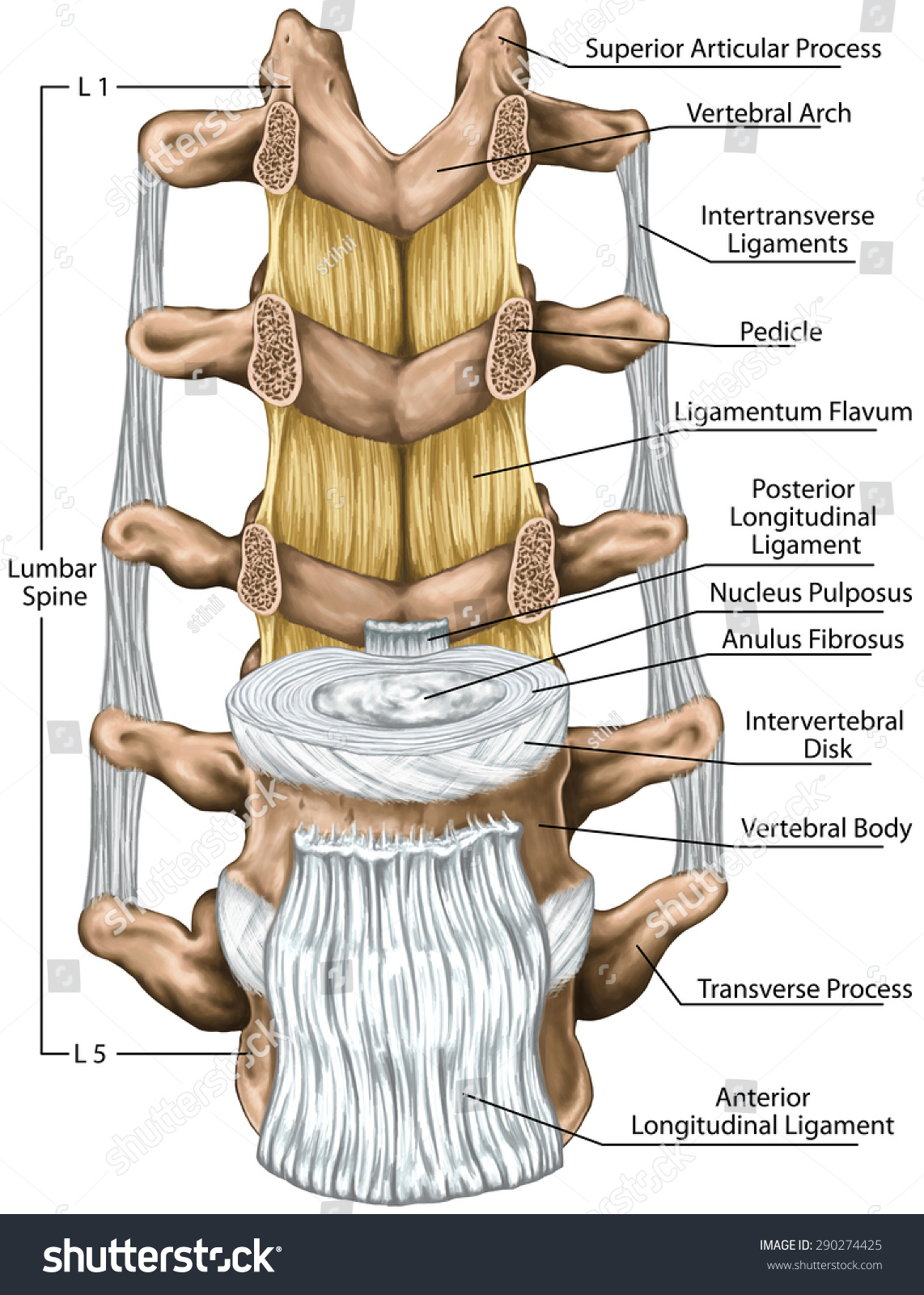 Ligaments Lumbar Spine Structure Ligaments Surrounding Stock ...