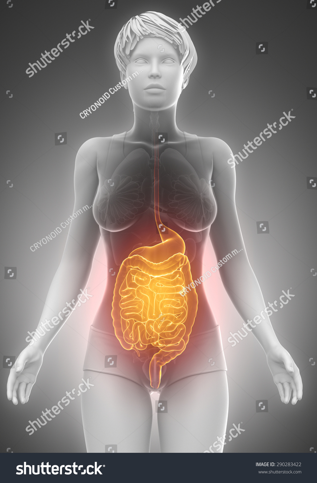 Female Guts Stomach Anatomy Xray Scan Stock Illustration 290283422 ...