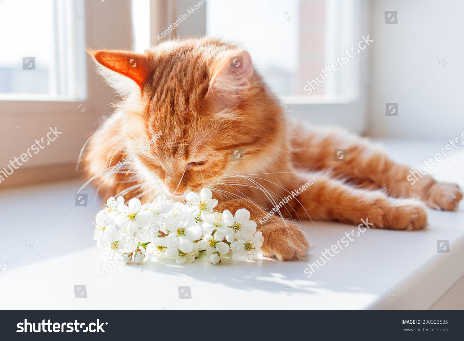Ginger Cat Smells Bouquet Cherry Flowers Stock Photo Edit Now