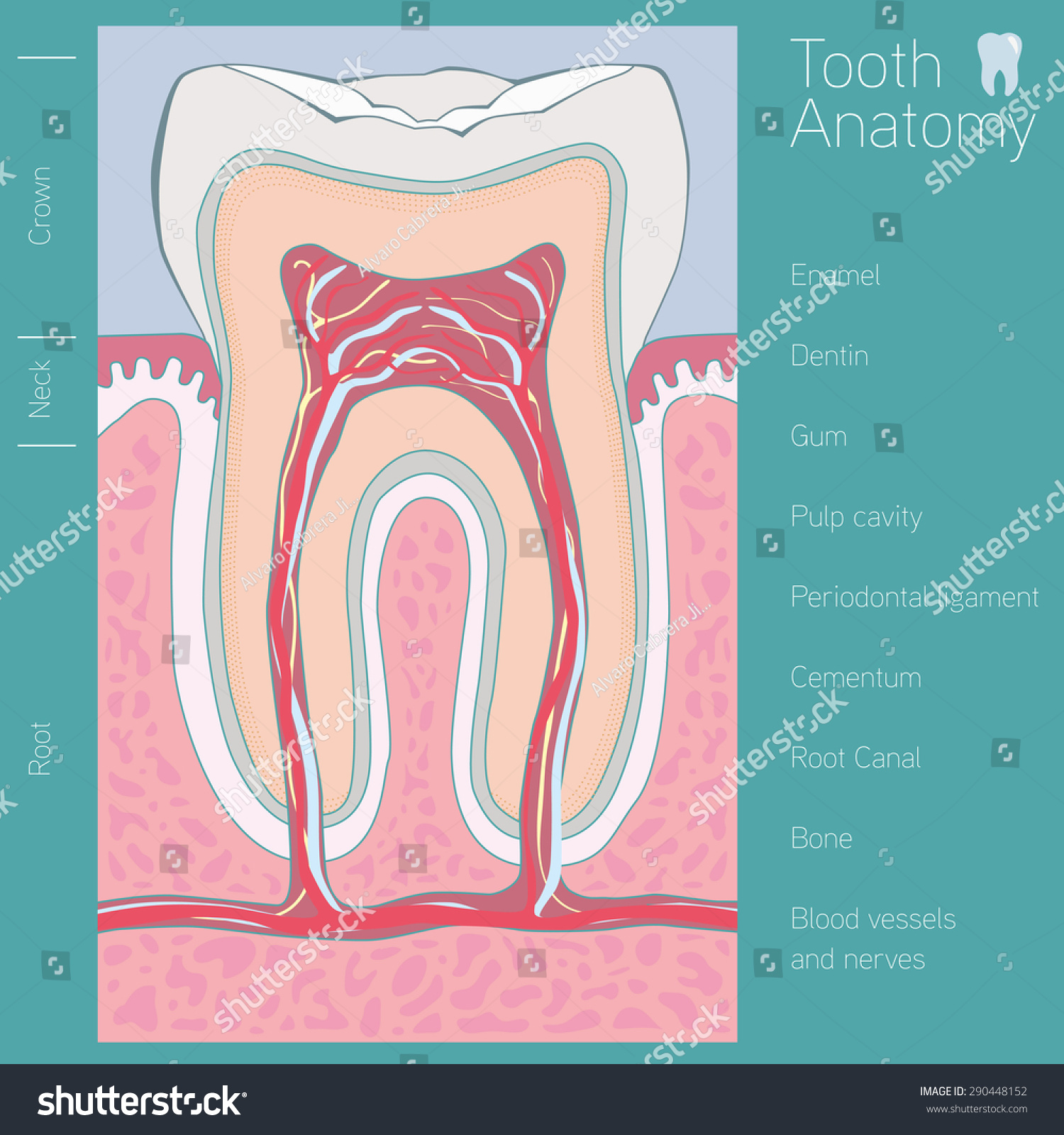 Tooth Medical Anatomy Words Stock Vector 290448152 - Shutterstock