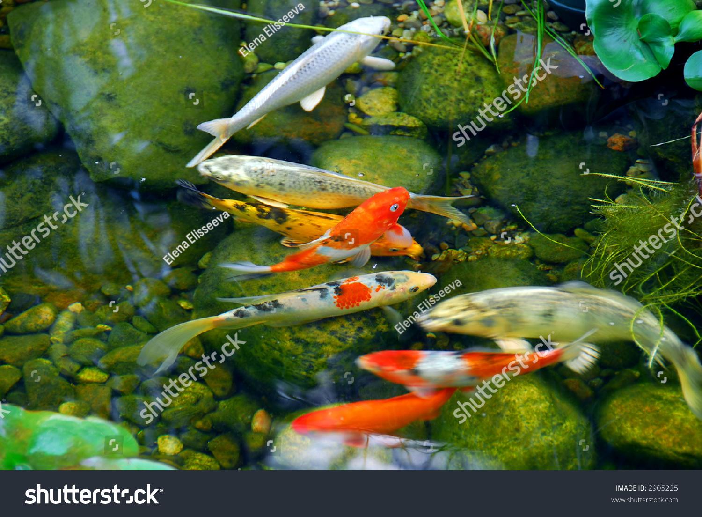 Koi Fish Natural Stone Pond Stock Photo (Edit Now) 2905225 ...