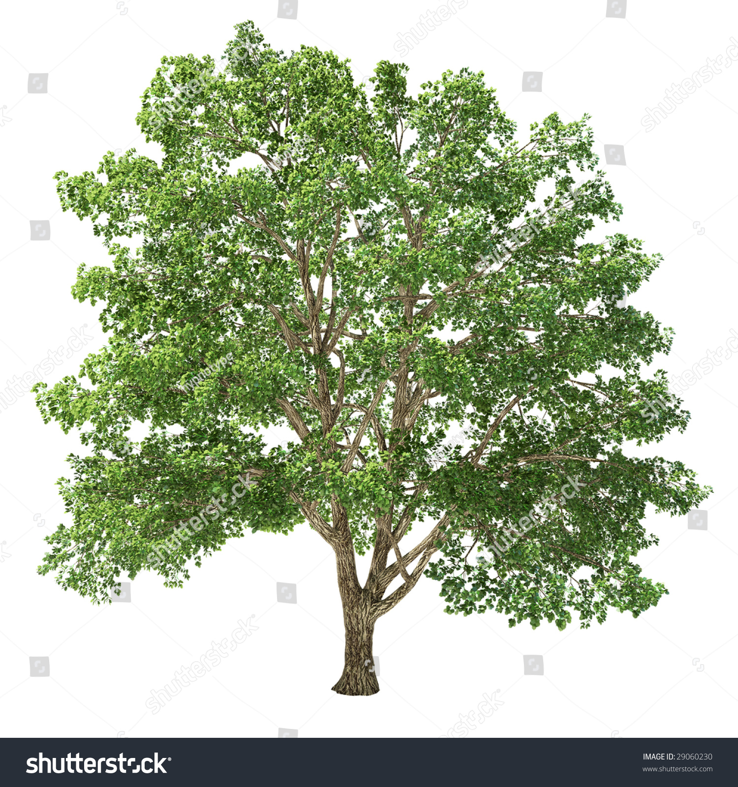 1000  images about Linden Tree on Pinterest