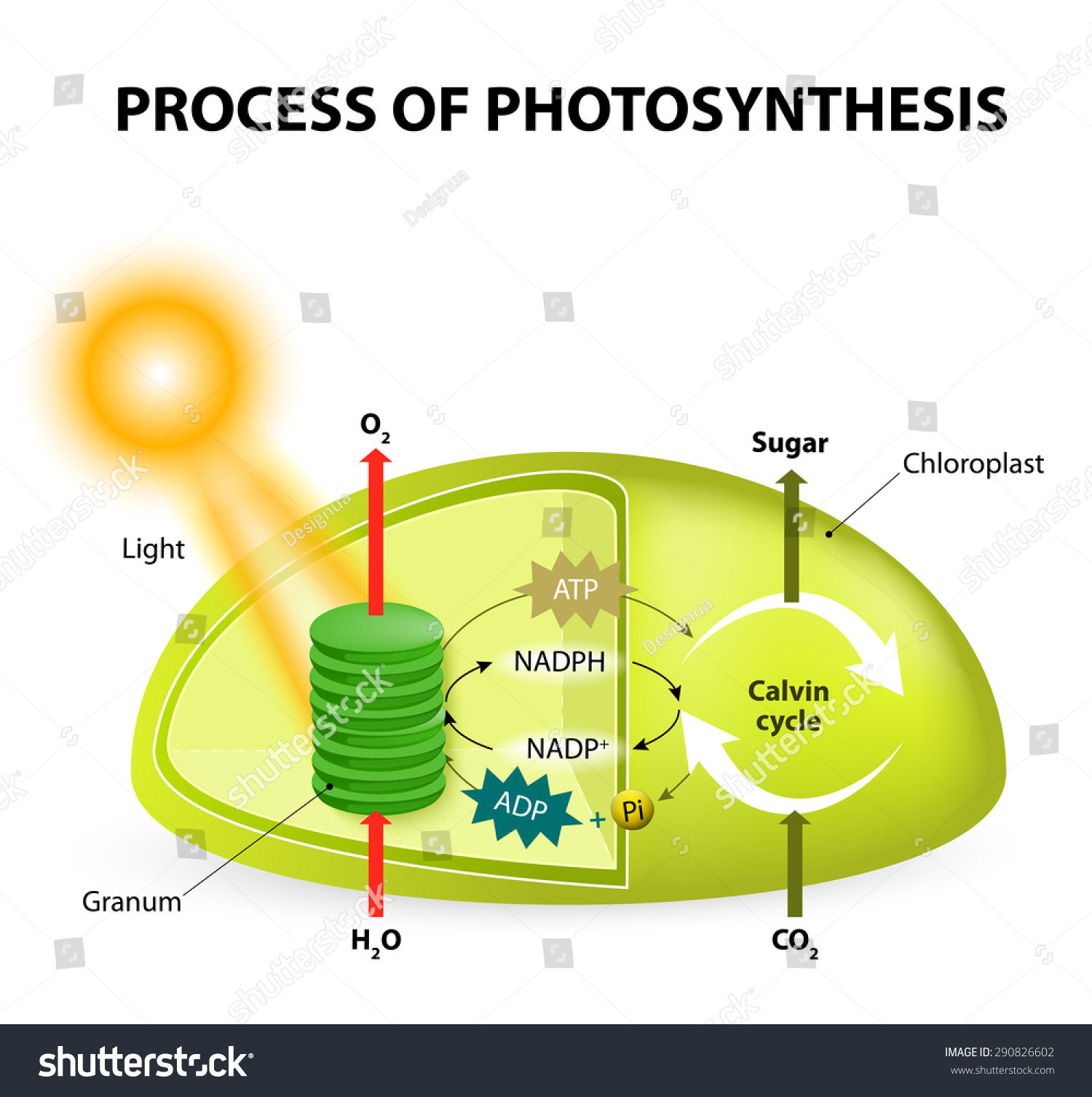 Diagram Process Photosynthesis Showing Light Reactions