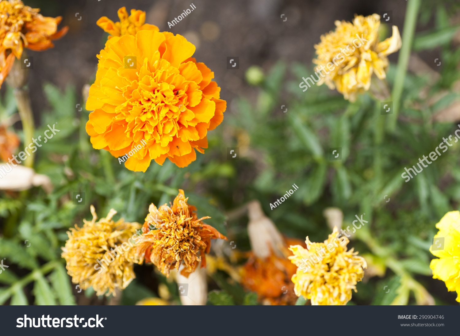 Beautiful Yellow Flower Countryside On Summer Stock Photo Royalty