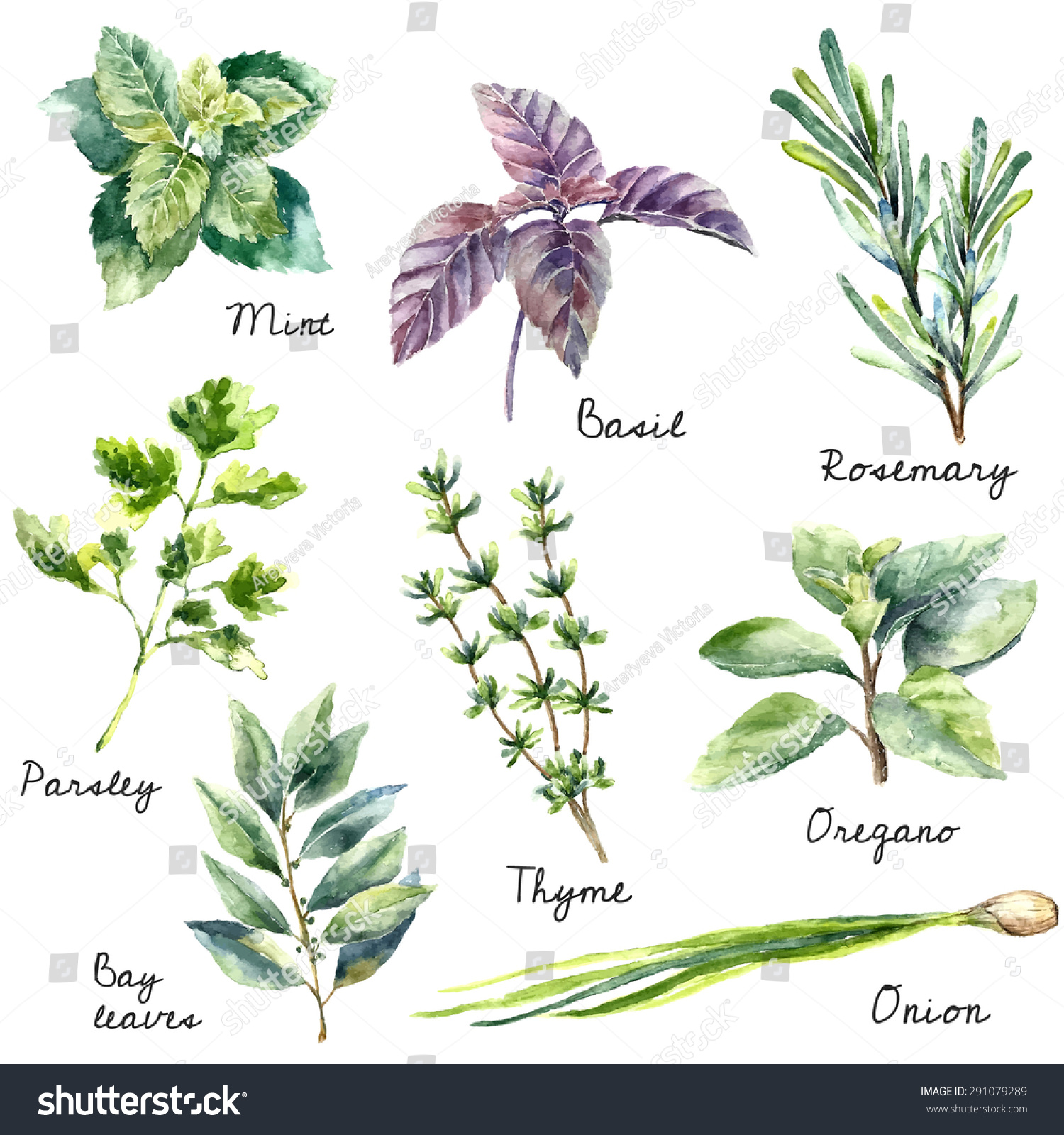 watercolor collection fresh herbs isolated mint stock vector