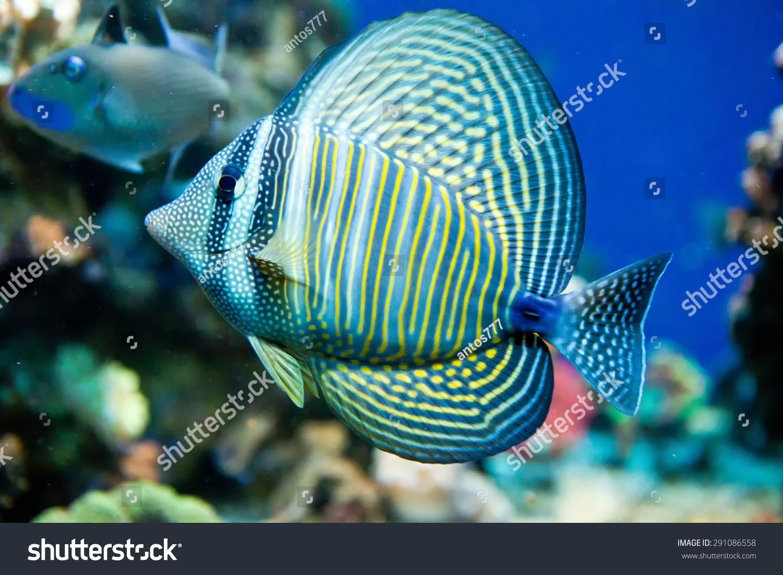 Fish for marine aquarium - Saltwater Aquarium Fish Zebrasoma Desjardini