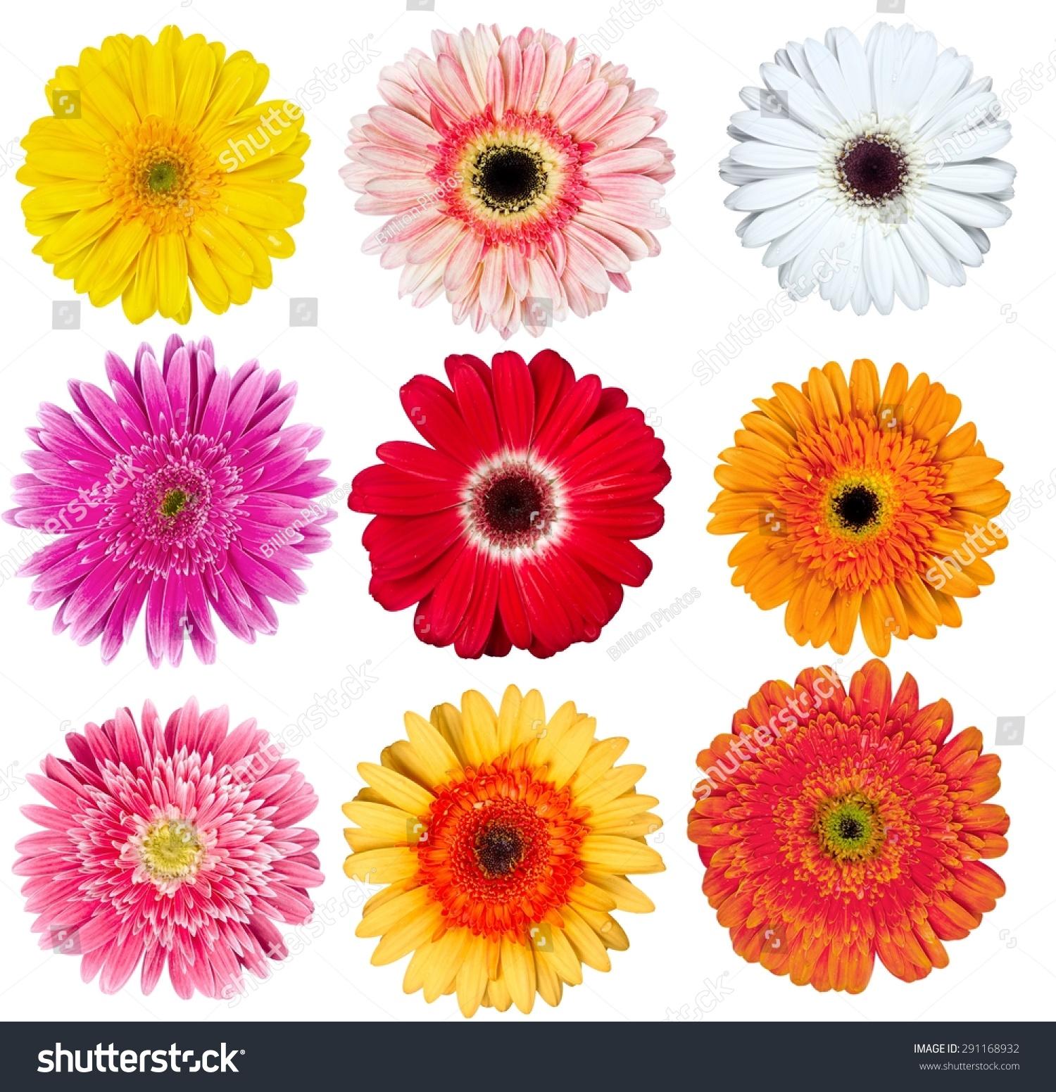 Gerbera Daisy Flower Single Flower Stock Photo (Royalty Free ...