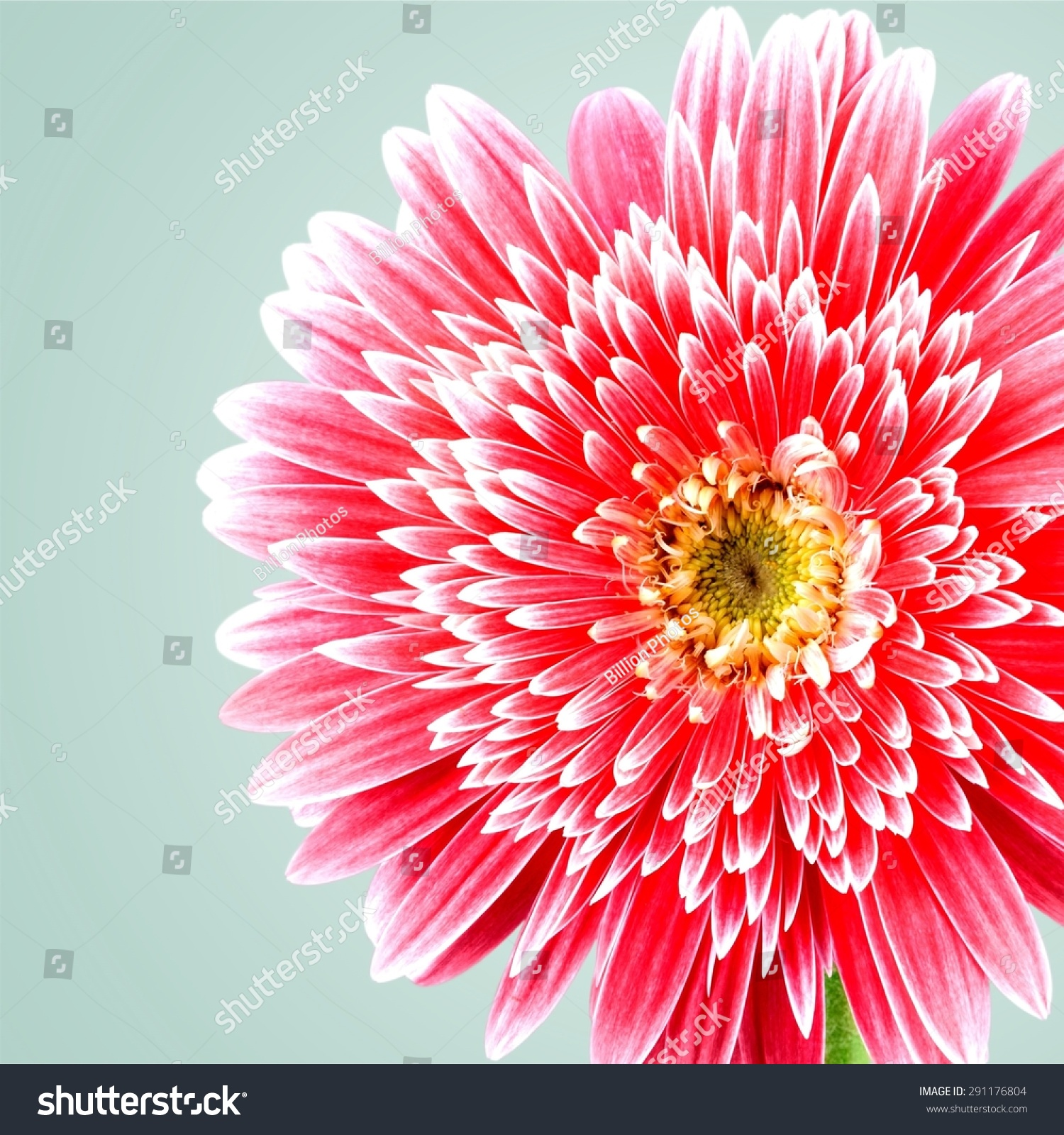 Gerbera Daisy Single Flower Pink Stock Photo Edit Now 291176804
