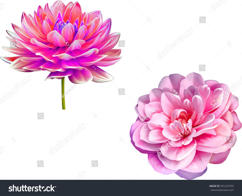 Pink Dahlia Flower Georginium Bright Camellia Stock Vector Royalty