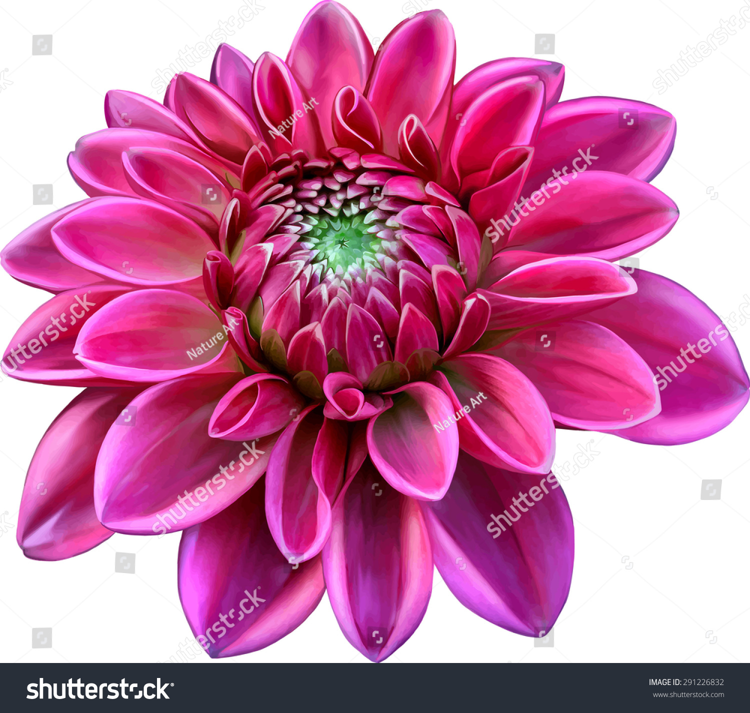 Pink Colored Dahlia Flower Isolated On Stock Vector 291226832