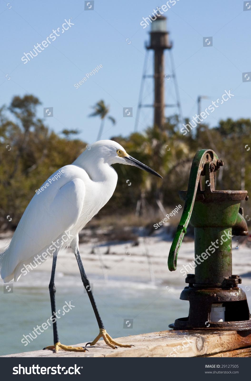 Snowy egret sitting on railing of fishing pier on sanibel for Sanibel fishing pier