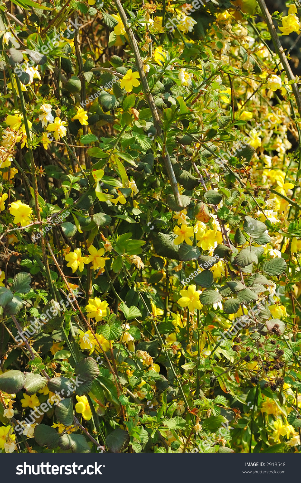 Spring Climbing Plant Yellow Flowers Stock Photo Edit Now 2913548