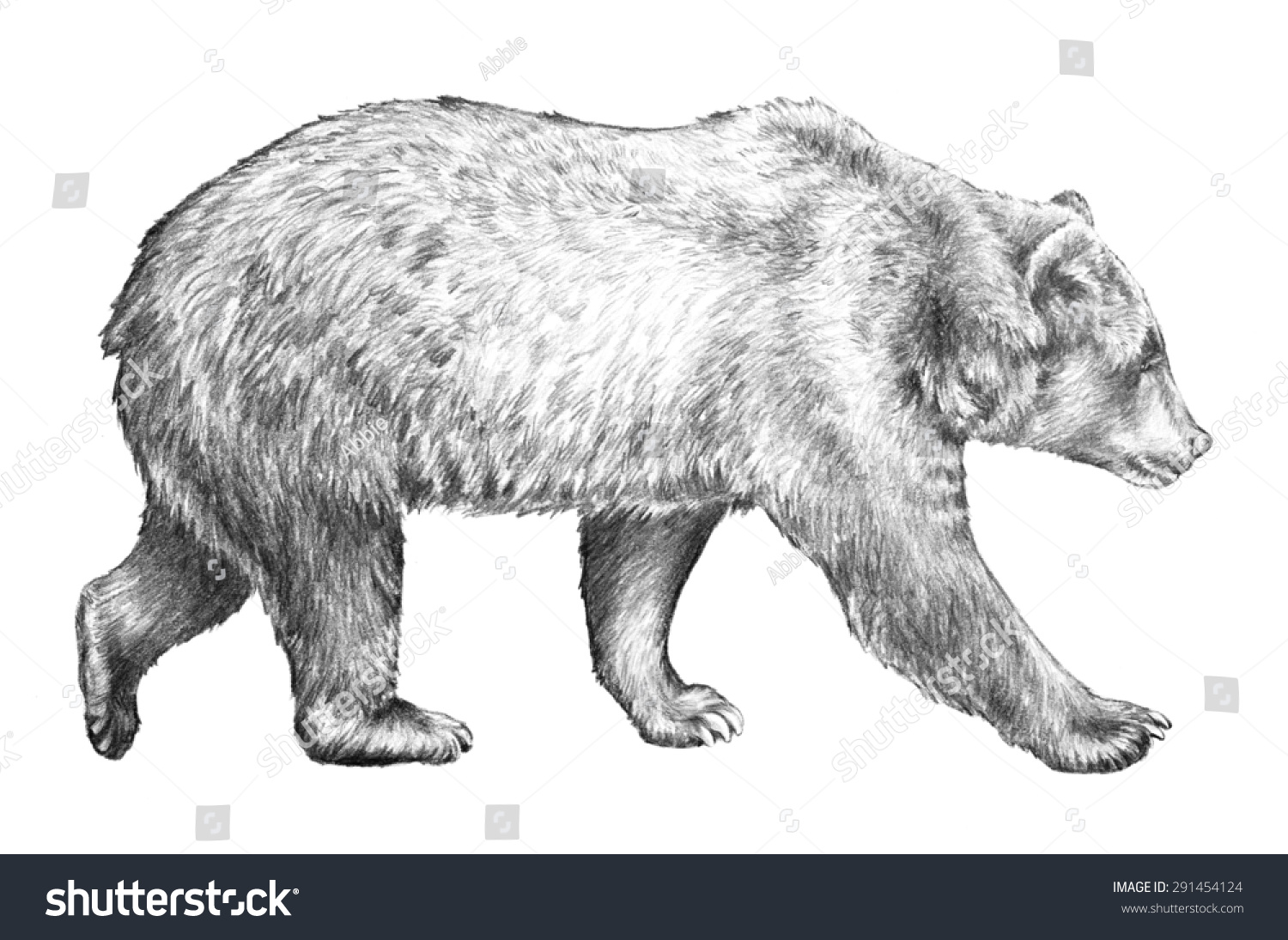 Grizzly bear walking - photo#40