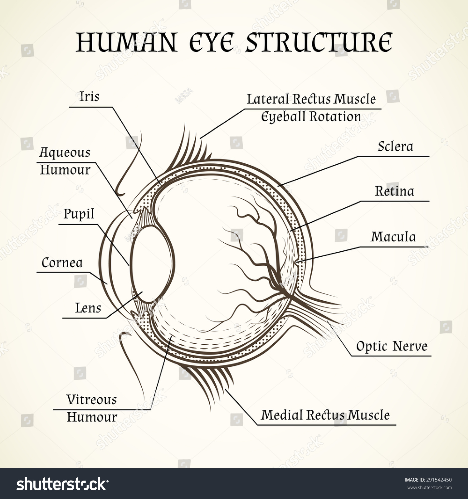 Vector Structure Human Eye Anatomy Medicine Stock Vector (Royalty ...