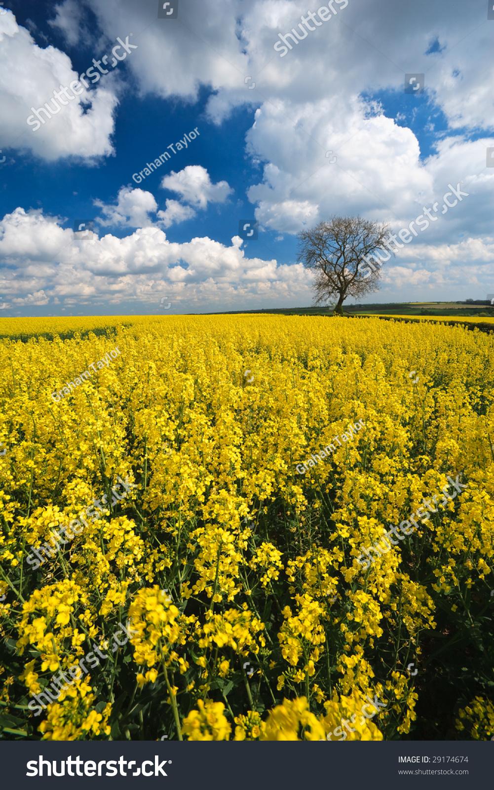 Yellow Oilseed Rape Field Under The Blue Sky Ez Canvas