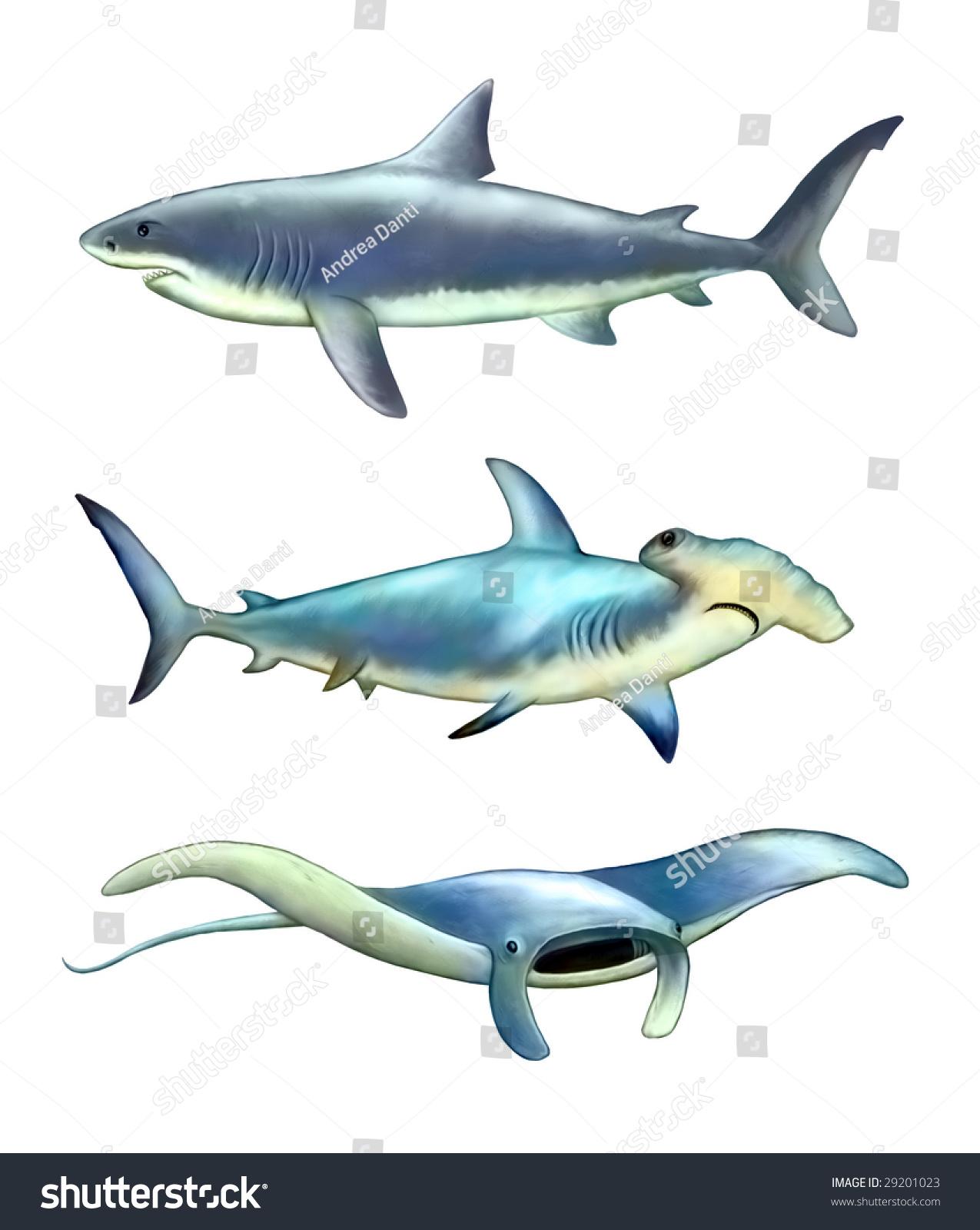 White Shark Hammer Fish Manta Ray Stock Illustration 29201023