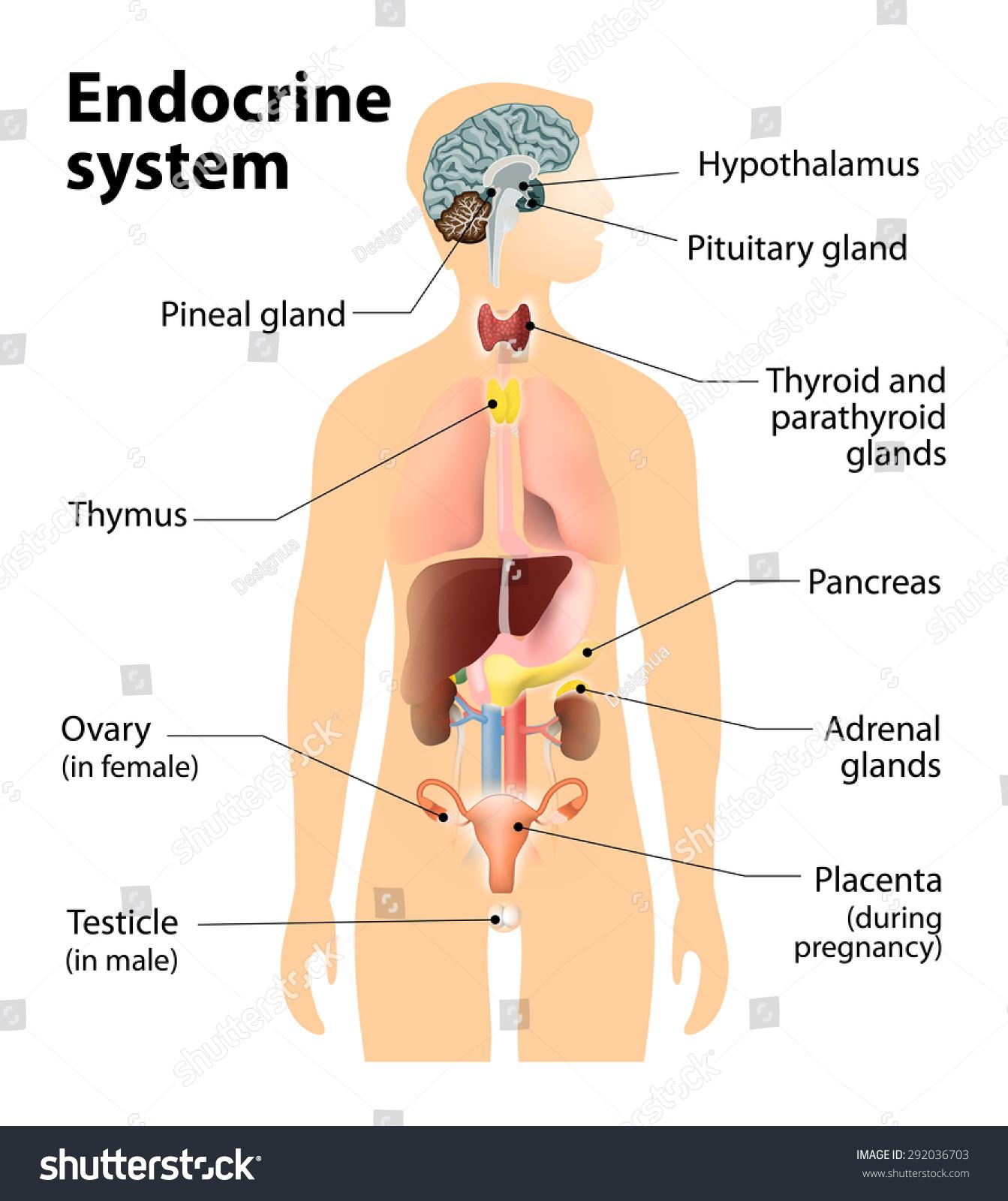 Human Endocrine System Diagram endocrine system. human anatomy. human ...