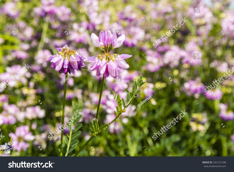 Flower securigera varia coronilla varia crown vetch purple crown id 292131248 izmirmasajfo